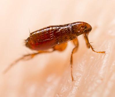 flea-398